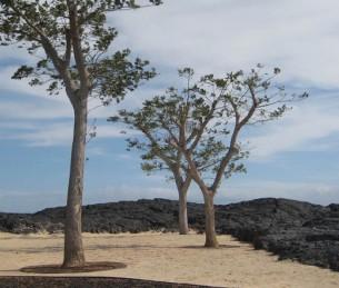 """par Dimitri BOUTLEUX  """"Onaona revient des collines où poussent les arbres à Hulu que son grand-père avait ramené et planté ici. L'horizon est dégagé, les vents gardent le vogue à l'ouest, on peut donc apercevoir les crêtes d'Haleakala qui couronnent Maui. Ce sera une belle fête se dit-elle, Pele nous offre une journée sans pareil pour le mariage de Keiki, sa sœur..."""""""