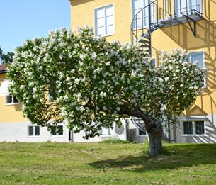 Des lilas à Stockholm
