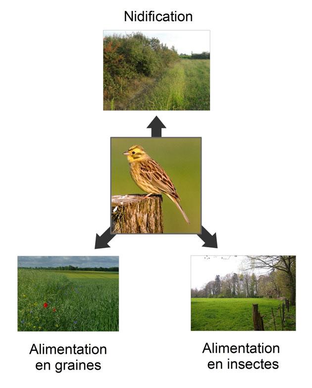 Figure 2 – Mécanisme de complémentation. Pour effectuer sa nidification et trouver ses ressources alimentaires, le bruant jaune doit disposer de plusieurs habitats.