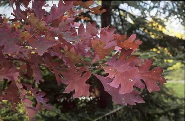 Quercus alba.  ©Michel Timacheff