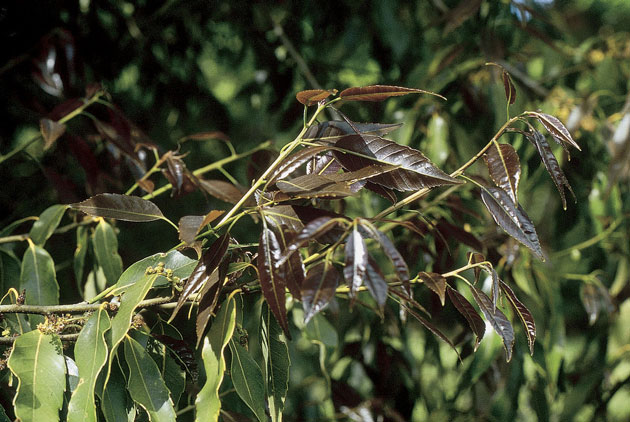 Quercus myrsinifolia. ©Thierry Lamant