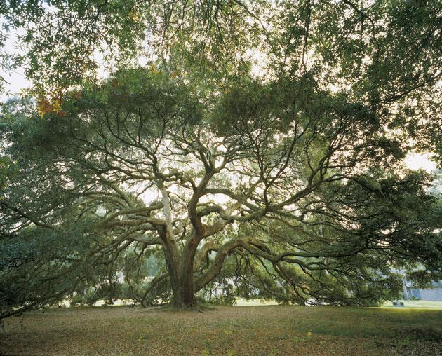 Quercus virginiana. ©Michel Timacheff