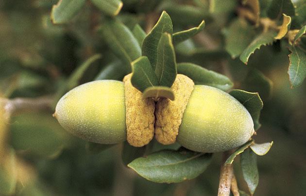Quercus chrysolepis. ©Michel Timacheff