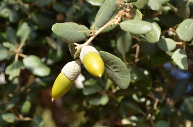 Quercus rotundifolia. ©Michel Timacheff