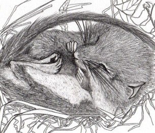 Par Gaëlle Caublot  Qui pourrait imaginer que les haies abritent une petite créature dorée qui se nourrit de mûres et de noisettes et construit un nid sphérique dans les entrelacs de la végétation ? Le Muscardin, Muscardinus avellanarius, est un rongeur très discret et rares sont les personnes qui ont eu la chance de l'observer.