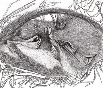 Le Muscardin, emblème de la haie