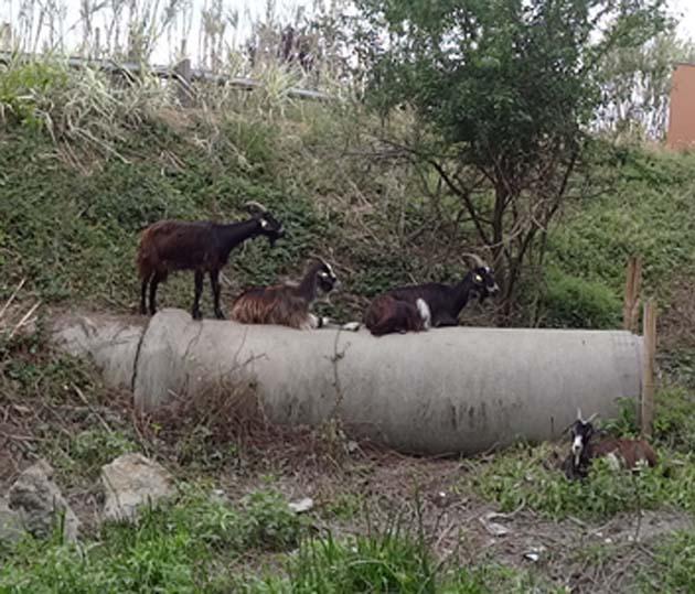 Des troupeaux dans la ville